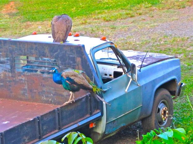 Dump truck with peacocks.
