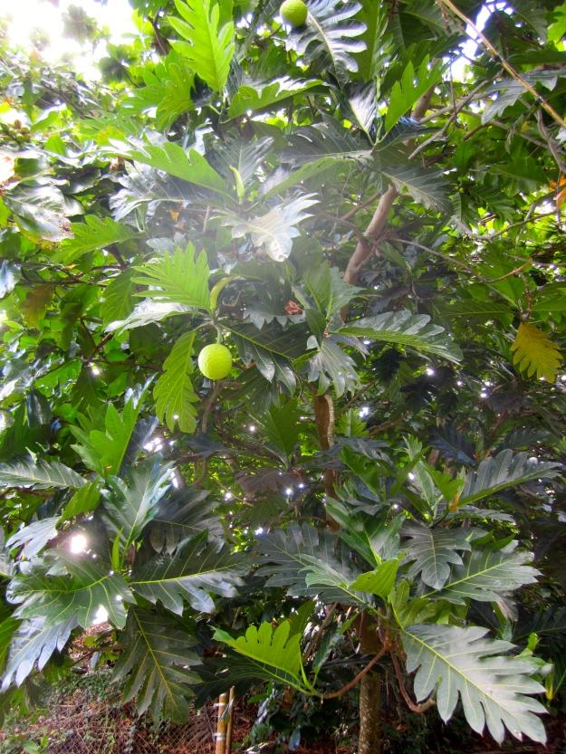 Breadfruit tree.