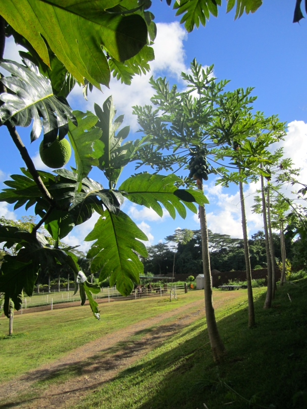 Breadfruit and papaya trees  are neighbors.