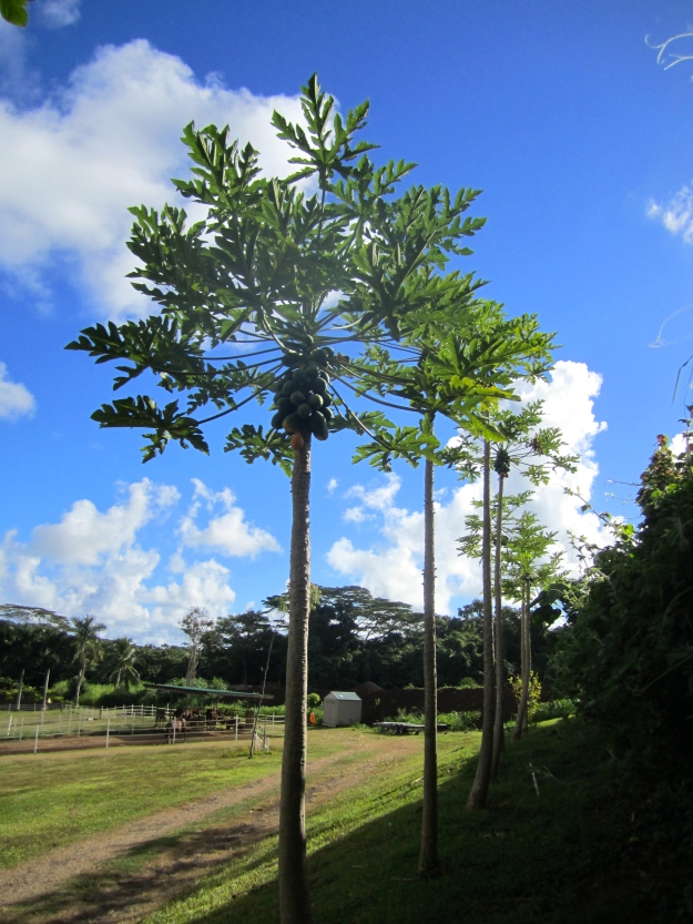 Papaya trees.