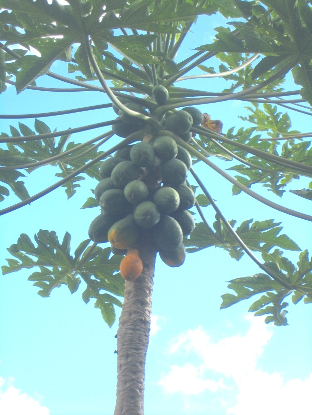 Papayas ripen from the bottom ones upwards.