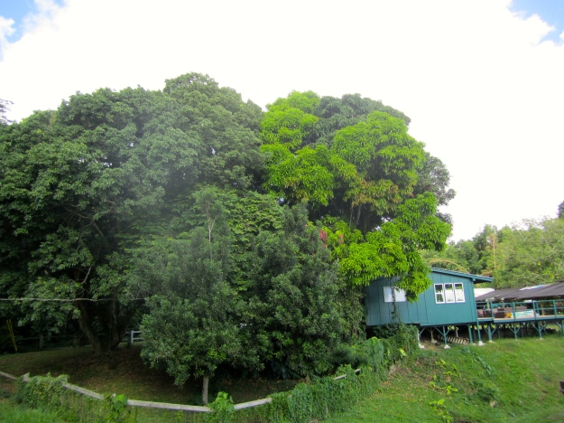 Huge mature lychee and mango trees in the front yard.
