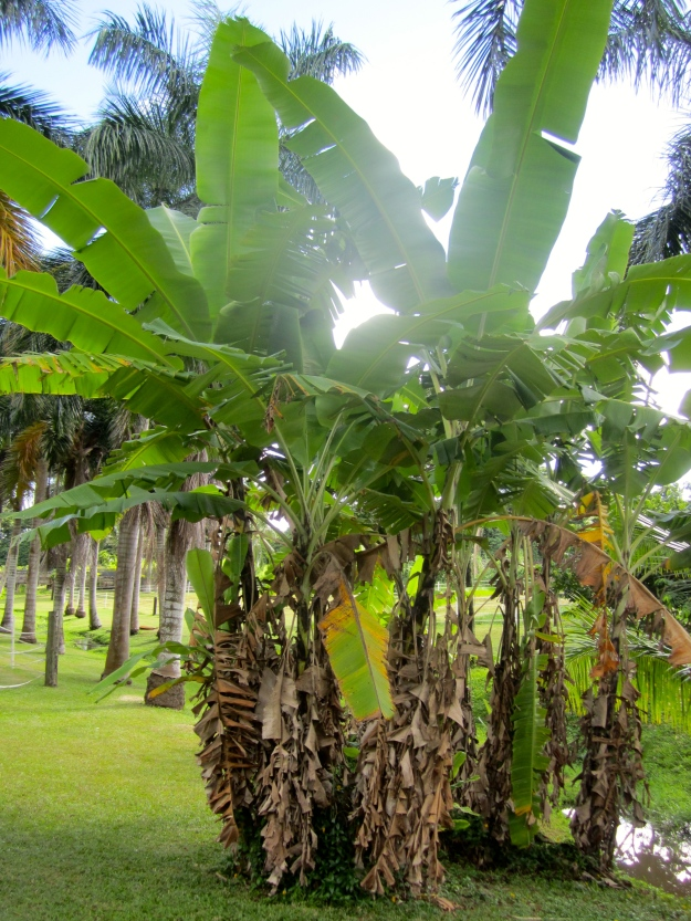 Banana plants.