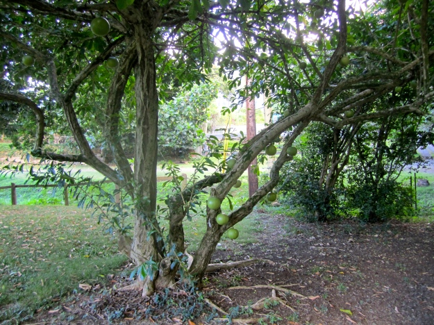 Gourd tree